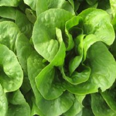 Lettuce Winterking - 3000 seeds